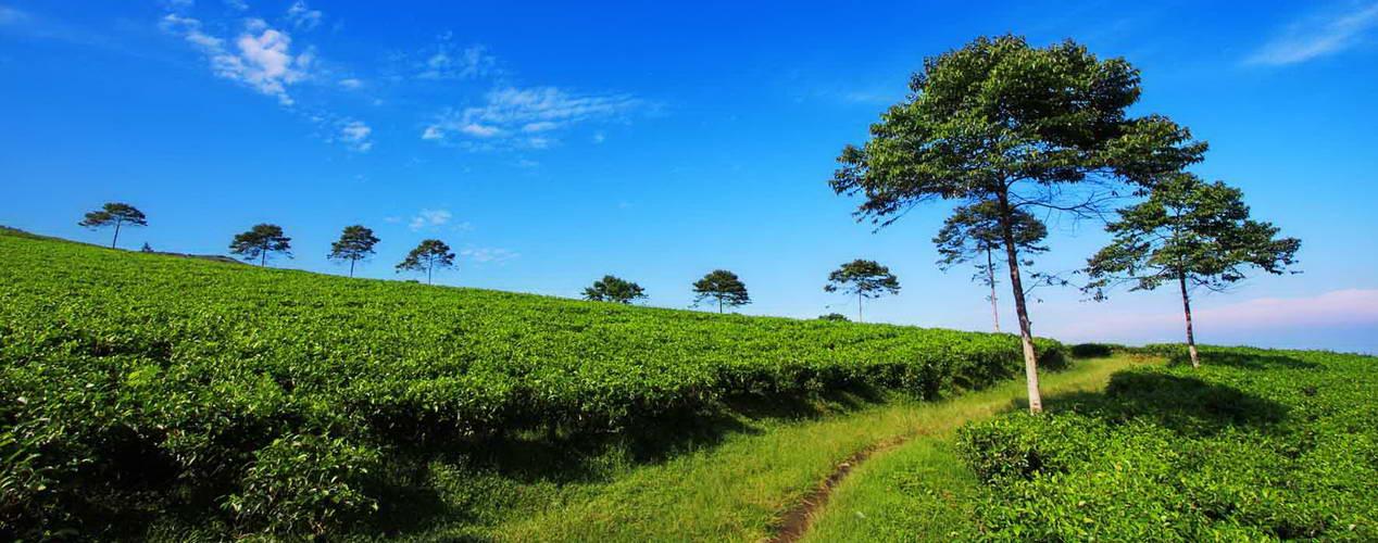 Kemuning Garden Tea